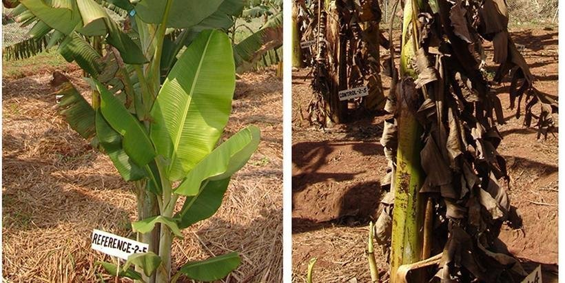 New study offers first-ever insight on resistance mechanism of a wild Banana relative