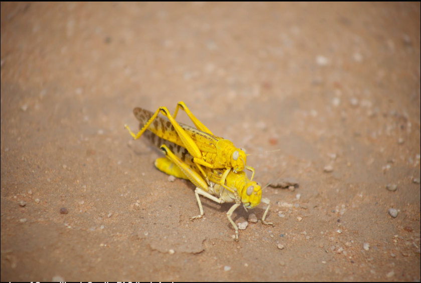 East Africa's Locust Crisis In Numbers (Photos) - Brand Spur