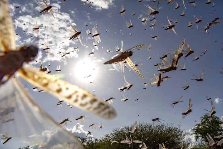 FAO continues to fight Desert Locust upsurge in East Africa and Yemen despite COVID-19 constraints - Brand Spur
