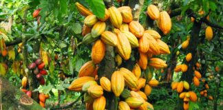 Cross River earmarks 10,000 hactares for Cocoa cultivation
