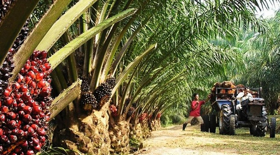 Firm Develops 14,000-hectare Palm Plantation in Edo Brandspurng
