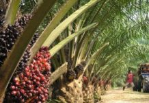 Okomu Oil Palm On track for a Record FY'20