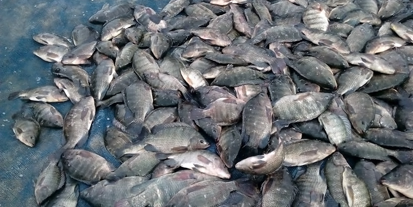 Researchers reveal a more sustainable approach to address postharvest fish losses