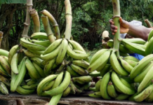 Study lifts the lid on plantain consumer preferences, adds fresh insights for breeding programs